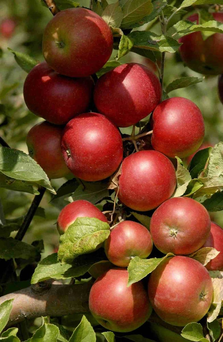 apples-pesticide-health