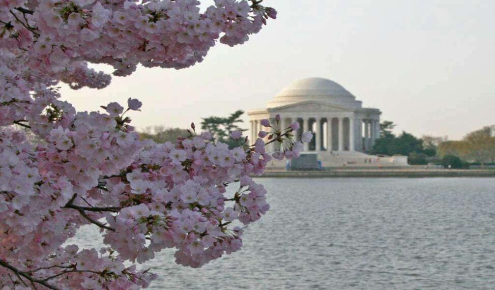 Cherry Blossoms_1024x600.jpg