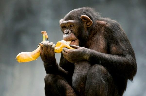 Monkey-banana_small.jpg