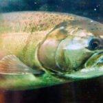 chinook-salmon-1024px.jpg