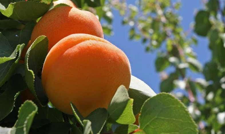 peach2014.jpg