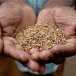 rice-seeds-009.jpg
