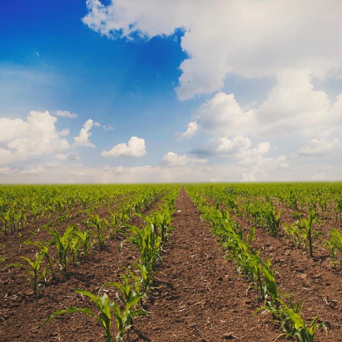 corn field cover crop