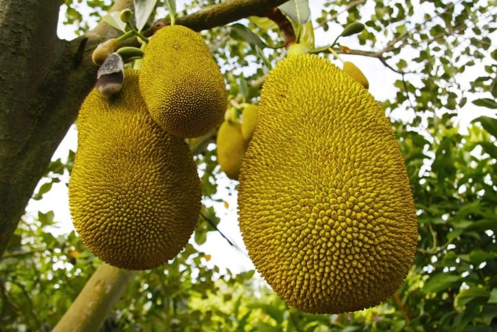 jackfruit from a tree