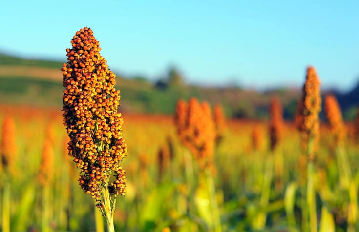 sorghum  from salads to syrups  this grain is cropping up